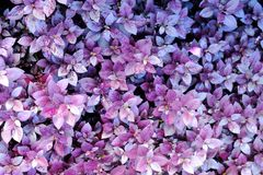 Pink and Purple Ground Cover Shrub royalty free stock images