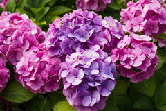 Pink and purple hortensia bush. An Pink and purple hortensia bush royalty free stock photography