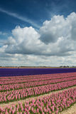 Pink and purple hyacinth field with beautiful clouds Royalty Free Stock Images