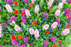 Pink and purple hyacinths blooming in Spring among colorful flower field of tulips at Keukenhof garden in Netherlands Royalty Free Stock Photos