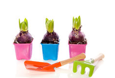 Pink and purple hyancinth bulbs Royalty Free Stock Photo