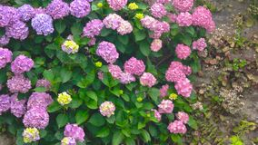 Pink and purple hydrangeas. Flowers on the wall. How plants help the environment stock footage