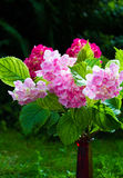 Pink and purple hydrangeas in vase Stock Images