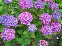 Pink and Purple Hyrdrangeas Stock Photos