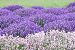 Pink and Purple Lavender. Field Stock Image