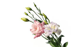 Pink and purple lisianthus flowers. Isolated on white background Royalty Free Stock Images