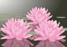 Pink purple lotus flowers green pond Royalty Free Stock Photography