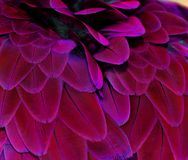 Pink/Purple Macaw Feathers Stock Images