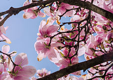 Pink, purple magnolia branch flower, close up,  blue sky background Stock Photo
