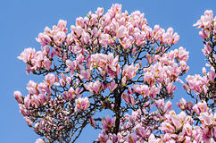 Pink, purple magnolia branch flower, close up,  blue sky background Royalty Free Stock Image