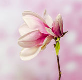 Pink, purple magnolia branch flower, close up, , gradient background Stock Images