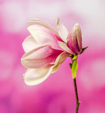 Pink, purple magnolia branch flower, close up, , gradient background Royalty Free Stock Photography
