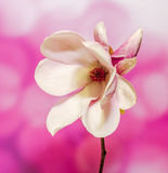 Pink, purple magnolia branch flower, close up, , gradient background Stock Photo