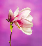 Pink, purple magnolia branch flower, close up, , gradient background Stock Photography
