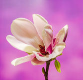 Pink, purple magnolia branch flower, close up, , gradient background Stock Image