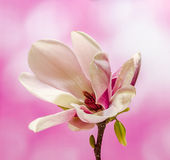 Pink, purple magnolia branch flower, close up, , gradient background Royalty Free Stock Photo