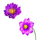 Pink Purple Mona Lisa, Spring bloom, Dahlia flower Stock Images