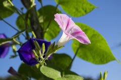 Pink and Purple Morning Glory Flowers Royalty Free Stock Image