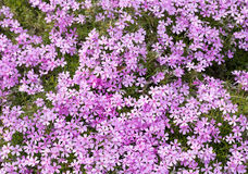 Pink and purple moss phlox flowers. Royalty Free Stock Photo