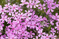 Pink and purple moss phlox flowers Stock Photos