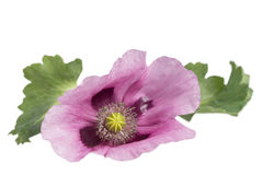 Pink Purple opium Poppy studio cutout on white Royalty Free Stock Photography
