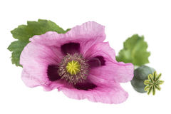 Pink Purple opium Poppy studio cutout on white. Pink Purple Poppy studio cutout on white background royalty free stock images