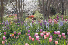 Pink, Purple, Orange Tulips and Tree Blossoms in a Garden Royalty Free Stock Photo