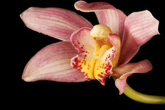 Pink / Purple Orchid on Black Background Royalty Free Stock Image