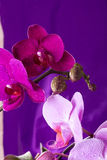 Pink and purple Orchid macro with water drops. Phalaenopsis branch on purple background. Close up. Spring. Royalty Free Stock Photos