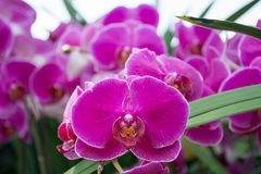 Pink purple orchids. At the orchid show at New York Botanical Garden Royalty Free Stock Photo