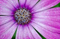 Pink/Purple Osteospermum African Daisy Stock Photo