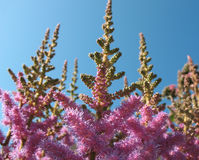 Pink-purple panicles of bloom astilby Royalty Free Stock Photography
