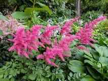 Pink  Astilba hybrid `Rhythm and Blues`  in full bloom Stock Images