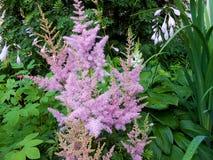 Pink  Astilba hybrid `Rhythm and Blues`  in full bloom Stock Photography