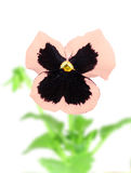 Pink-purple pansy flower Stock Photos