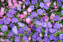 Pink and Purple Petunias. A flowerbed of purple and pink petunias royalty free stock photo