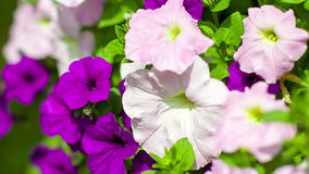 Pink and purple petunias in park Stock Photo