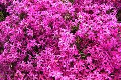 Pink, purple phlox. Carpet flowers stock images