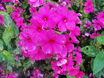 Pink purple phlox flowers in the garden. This is flowers of phlox. It is theme of seasons. A close-up of cluster of beautiful bright phlox flowers. Flowers Royalty Free Stock Photos