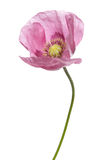 Pink Purple Poppy. Studio cutout Royalty Free Stock Images