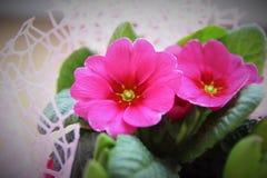 Pink purple primular cultivar flowers background Stock Image