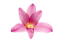 Pink-purple rain lily. Zephyranthes, on white Royalty Free Stock Photo