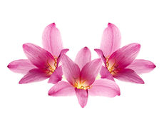Pink-purple rain lily. Zephyranthes, on white Royalty Free Stock Photography