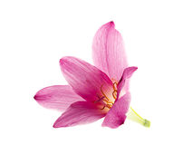 Pink-purple rain lily. Zephyranthes, on white Stock Photo