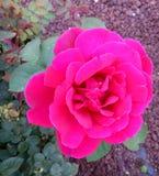 Pink Purple Rose. Beautiful big purple pink rose Stock Photo