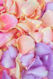 Pink and purple rose petals. Floral background stock photo