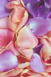 Pink and purple rose petals. Floral background stock image