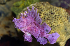 Pink and Purple Scorpion Fish Royalty Free Stock Images