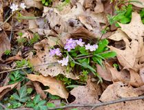 Pink and purple spring beauty flowers growing in a forest. Pink and purple spring beauty flowers Claytonia virginica growing in a forest. These plants emerge in royalty free stock photos