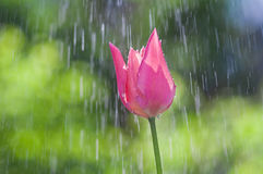 Pink and purple tulip in drops of water in the spring rain stock photo